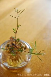 春の雑草 ミチクサ