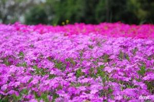 芝桜 野毛山公園
