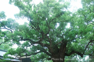 宇美八幡宮の大楠「湯蓋の森」