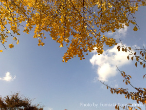紅葉 銀杏と桜