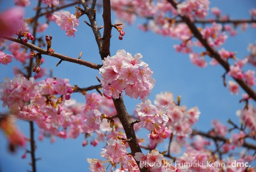 桜 あざみ野で
