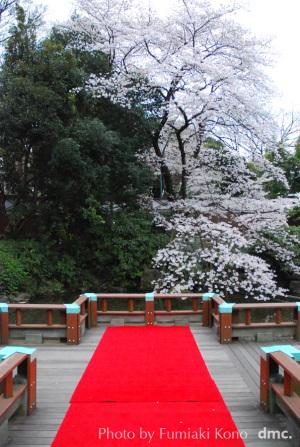 東郷神社の桜