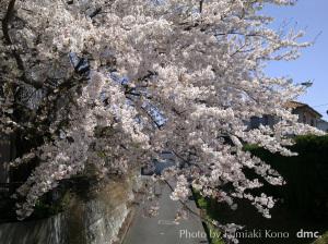 港北ネットワークサービス前の桜