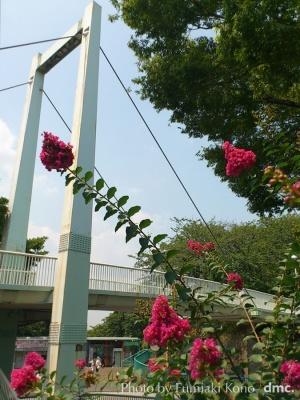 百日紅 歩道橋