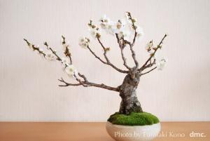 盆栽 野梅