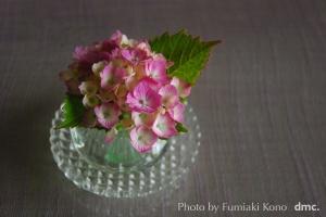 ミチクサ 紫陽花