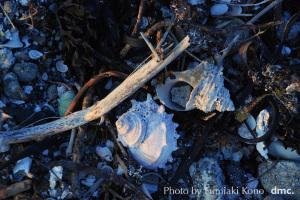 海辺の貝殻