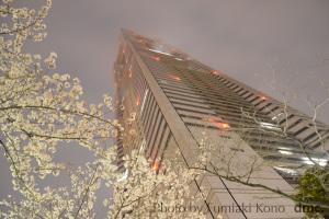 みなとみらい 夜桜