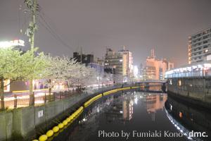 野毛 大岡川 夜桜