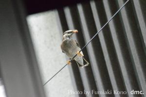 餌を運ぶ椋鳥